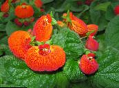 Slipper flower orange Herbaceous Plant