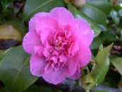Camellia pink Tree