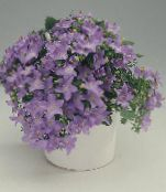 Campanula, Bellflower lilac Hanging Plant