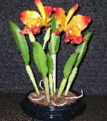 Cattleya Orchid orange Herbaceous Plant