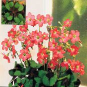 Oxalis red Herbaceous Plant