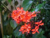 Clerodendron red Shrub
