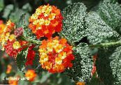 lantana orange Shrub