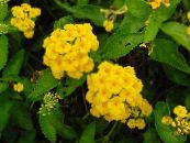 lantana yellow Shrub