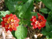 lantana red Shrub