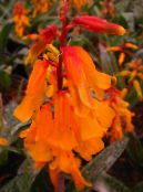 Cape Cowslip orange Herbaceous Plant