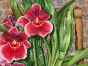 Miltonia red Herbaceous Plant