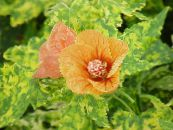 Flowering Maple, Weeping Maple, Chinese Lantern orange Tree