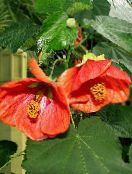 Flowering Maple, Weeping Maple, Chinese Lantern red Tree