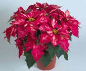 Poinsettia pink Herbaceous Plant