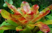 Bromeliad orange Herbaceous Plant