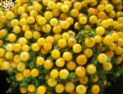 Bead Plant yellow