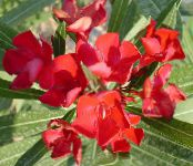 Rose bay, Oleander red Shrub