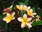 Plumeria yellow Shrub