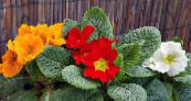 Primula, Auricula red Herbaceous Plant