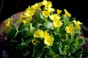 Primula, Auricula yellow Herbaceous Plant