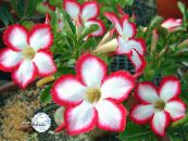 Desert Rose red Tree
