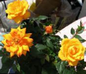 Rose orange Shrub