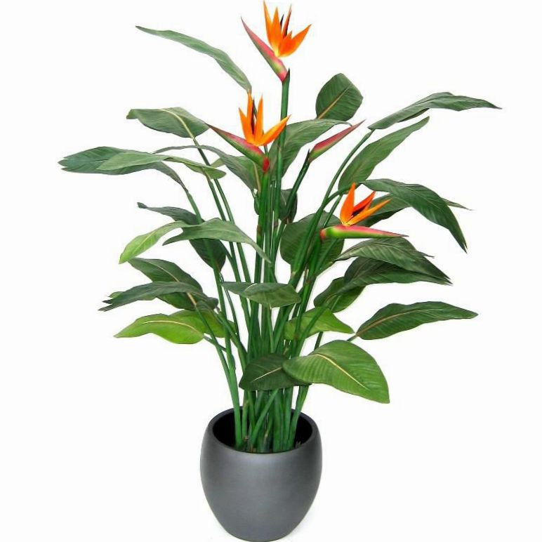 bird of paradise crane flower stelitzia herbaceous plant strelitzia reginae photo orange. Black Bedroom Furniture Sets. Home Design Ideas
