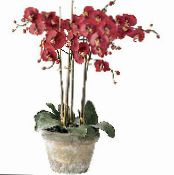 Phalaenopsis red Herbaceous Plant