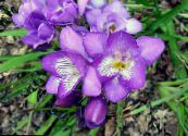 Freesia lilac Herbaceous Plant