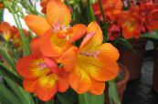 Freesia orange Herbaceous Plant